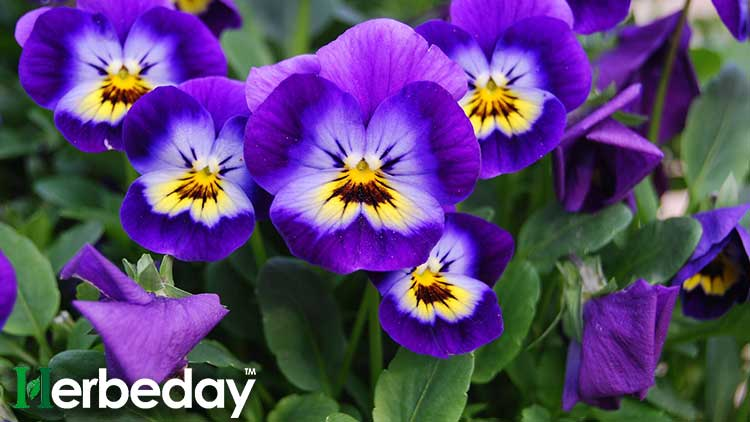 4 Amazing Health benefits of Viola